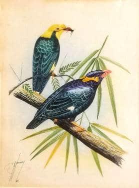G Noroozy Mynah Birds 12x9 watercolor 295